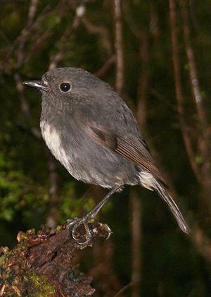 South Island robin - South Island robin