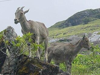 Wildlife of Tamil Nadu - Endangered Nilgiri tahr, state animal of Tamil Nadu