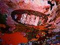 Noble chiton, South East Bay, Three Kings Islands PA121498.JPG