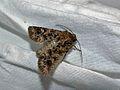 Noctuid Moth (Hadula pugnax) (8342339122).jpg