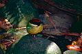 Noisy Pitta (Pitta versicolor) (9999613753).jpg