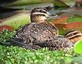 Nomonyx dominicus Pato enmascarado Masked Duck (females) (11337512366).jpg