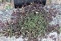 Noordwijk - Gehoornde klaverzuring (Oxalis corniculata) v5.jpg