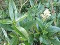 Noordwijk - Noordduinen - Wilde liguster (Ligustrum vulgare).jpg