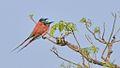 Northern Carmine Bee-eaters, Uganda (15034918488).jpg