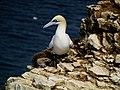 Northern Gannet at Bempton Cliffs.jpg