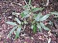 Nothopegia travancorica-1-chemungi hill-kerala-India.jpg