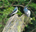 Notiochelidon cyanoleuca, Blue and White Sparrows (8987874983).jpg