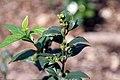 Nyctanthes arbor-tristis 9zz.jpg