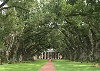 Quercus virginiana - The avenue of live oaks at Oak Alley Plantation in Vacherie, Louisiana, planted in the early 18th century.