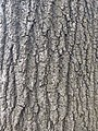 Oak tree bark texture.jpg