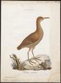 Ocydromus australis - 1786-1789 - Print - Iconographia Zoologica - Special Collections University of Amsterdam - UBA01 IZ17500121.tif