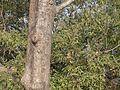 Odala (Assamese- ওদাল) (5444416855).jpg