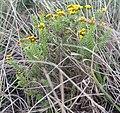 Oedera genistifolia 15529721.jpg