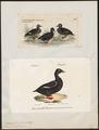 Oidemia fusca - 1700-1880 - Print - Iconographia Zoologica - Special Collections University of Amsterdam - UBA01 IZ17700151.tif