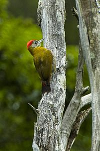 Olive Woodpecker - South Africa.jpg