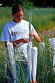 On a USDA-ARS test plot Utah State University Research assistant pollinates Snake River wheatgrass.jpg