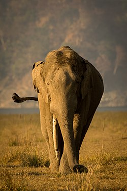 One Tusked Tusker.jpg