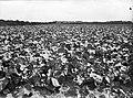 Ontginning, zaaien en oogsten gewassen, koolrapen, Bestanddeelnr 160-0179.jpg