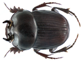Onthophagus (Oolobonthophagus) quadridentatus (Fabricius, 1798) male (9529663189).png