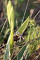 Ophrys scolopax 02 LM Lunel Nord 080420.jpg