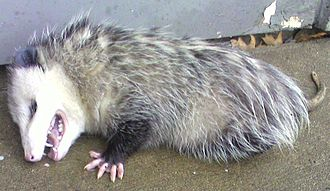 Apparent death - Opossum playing dead