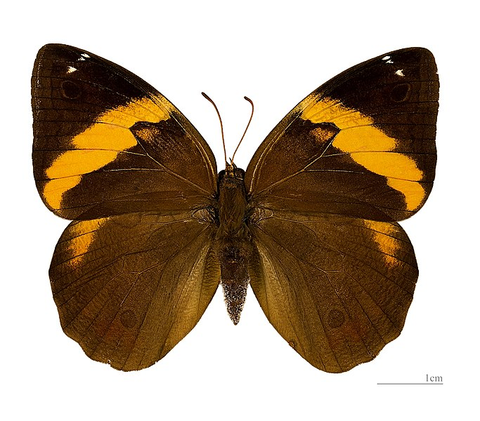 English:  Opsiphanes cassiae - Dorsal side