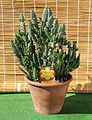 Opuntia in clay pot.jpg
