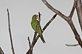 Orange-fronted Parakeet (Aratinga canicularis) (5772389024).jpg