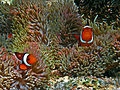 Orange clown fish Group.jpg