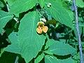 Orange jewelweed (Whitefish Island) 3.JPG