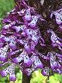 Orchidea purpurea.jpg