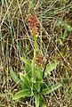 Orchis anthropophora Spanien Orchi 080.jpg