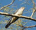 Oriental Cuckoo front Maiala.JPG