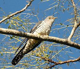 Oriental Cuckoo front Maiala