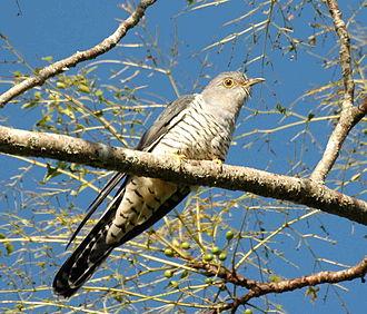 Oriental cuckoo - Photographed at Maiala NP, SE Queensland, Australia