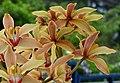 Orquídea (Cymbidium iridioides) (14392468456).jpg