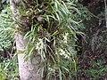 Orquideas do Parque Arthur Tomas - panoramio.jpg