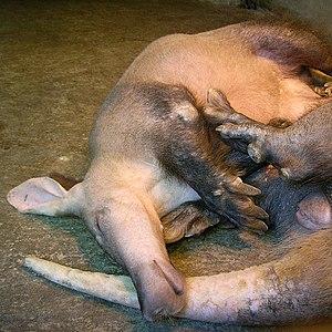Aardvark - Aardvark resting
