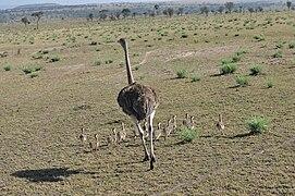 Ostrich hen with chicks, northern Serengeti