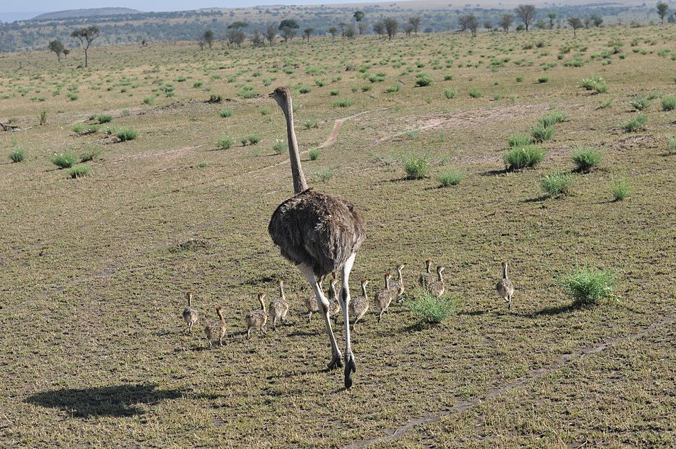 Ostrich hen with chicks, northern Serengeti