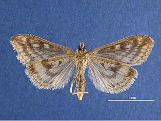 European corn borer - Image: Ostrinia nubilalis female ventral