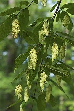Ostrya virginiana 2.jpg