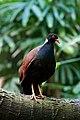 Otidiphaps nobilis -Cincinnati Zoo, Ohio, USA-8a.jpg