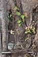 Oval sculpture of human head in a tree trunk in Laos.jpg