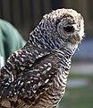 Owl 2 (5635464036).jpg