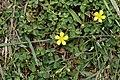 Oxalis corniculata 9840.jpg