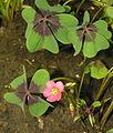 Oxalis tetraphylla, 2006-07-03.JPG