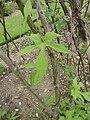 P1000425 Ipomoea lobata (Spanish Flag) (Convolvulaceae) Leaf.JPG