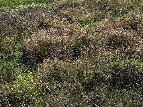500px p20130507 0067%e2%80%94calamagrostis nutkaensis%e2%80%94point reyes (8740931153)